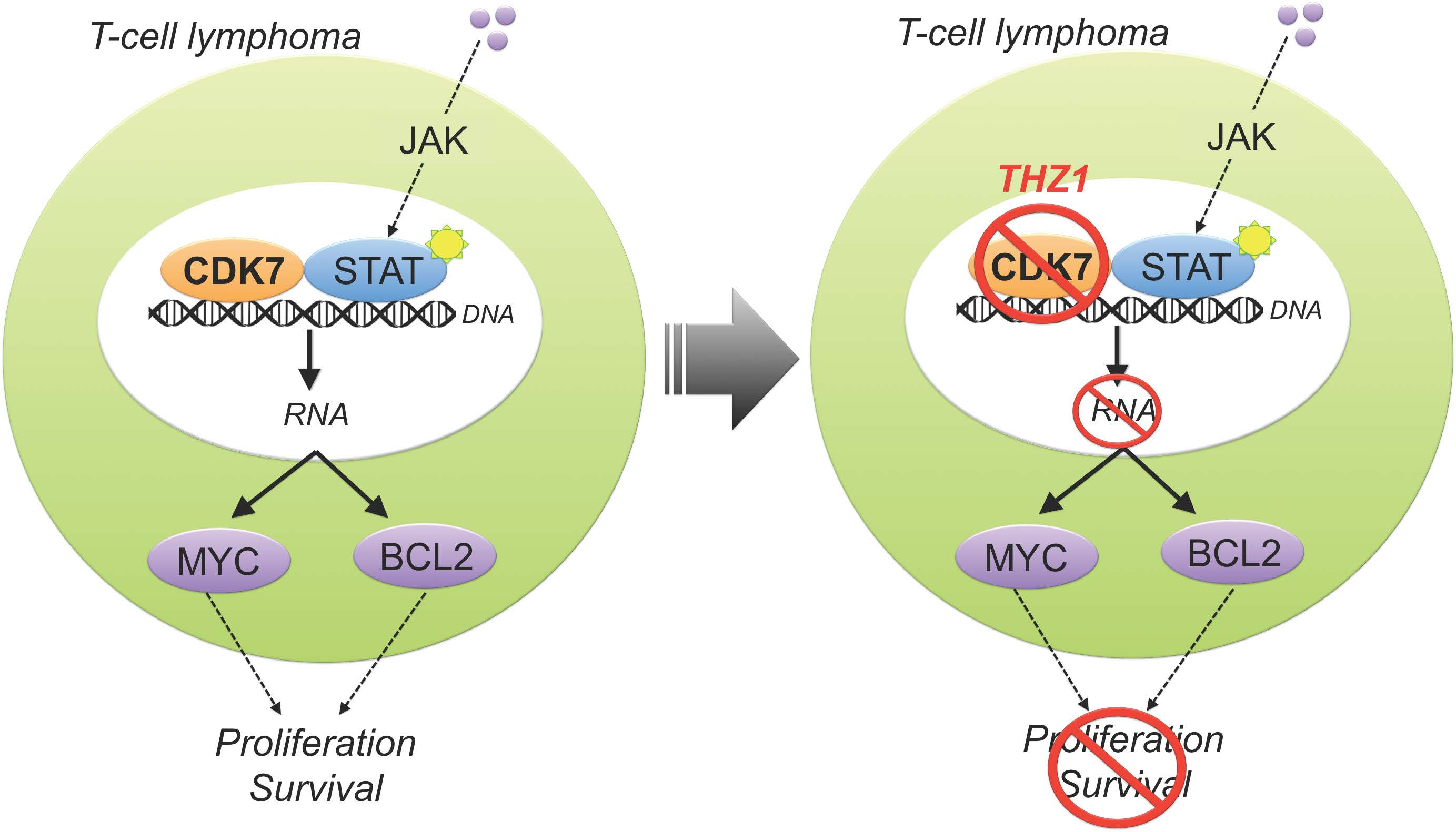 new pre-clinical research shows transcription-targeting drug useful in  t-cell lymphoma – new developments in lymphoma